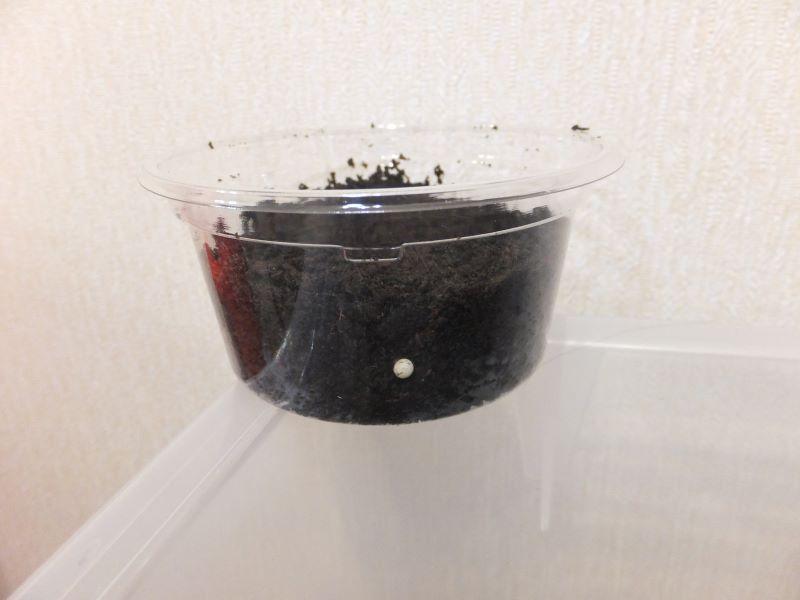人口卵室側面の卵
