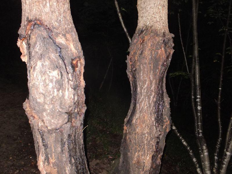 樹液の出てる木