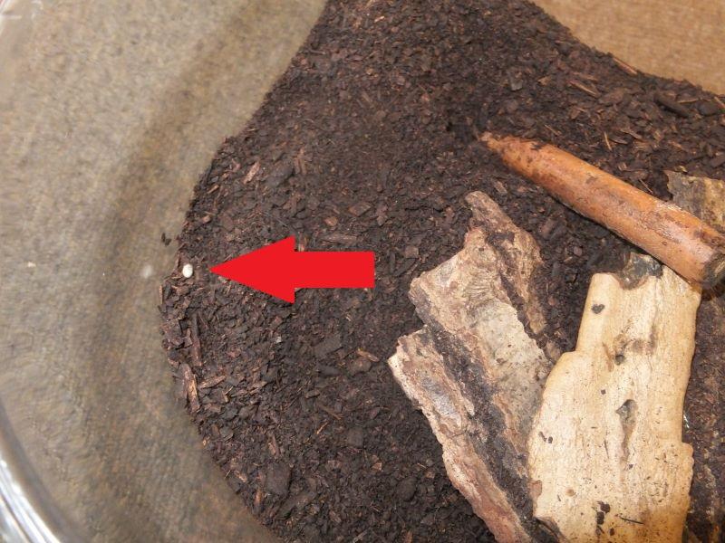 カブトムシのタマゴ発見