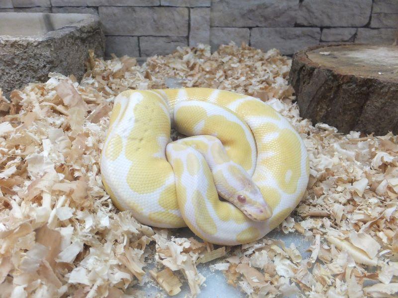 黄金のヘビ
