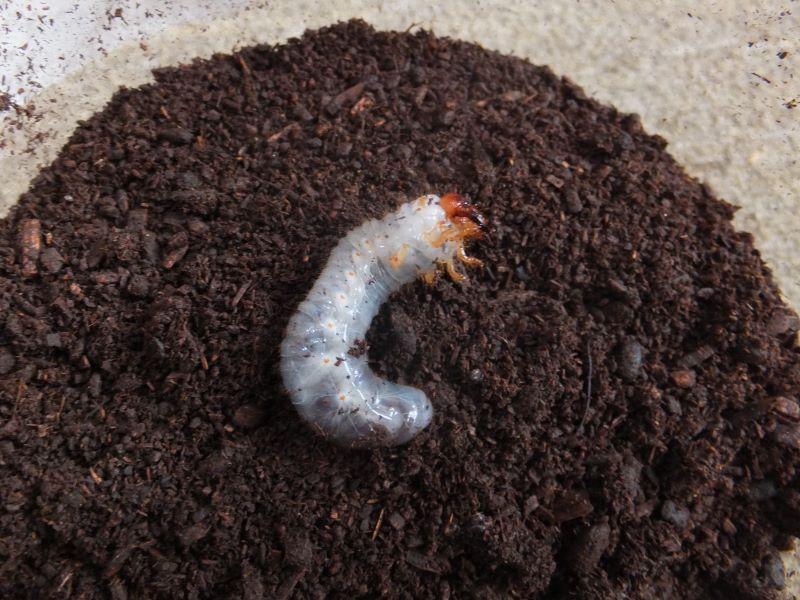 上下感覚の反対の幼虫