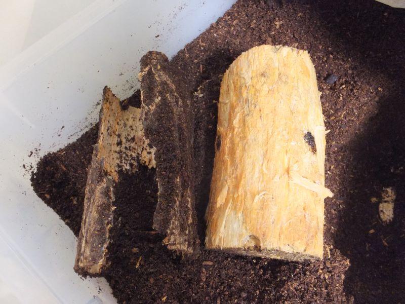 朽ち木の樹皮を剥がす
