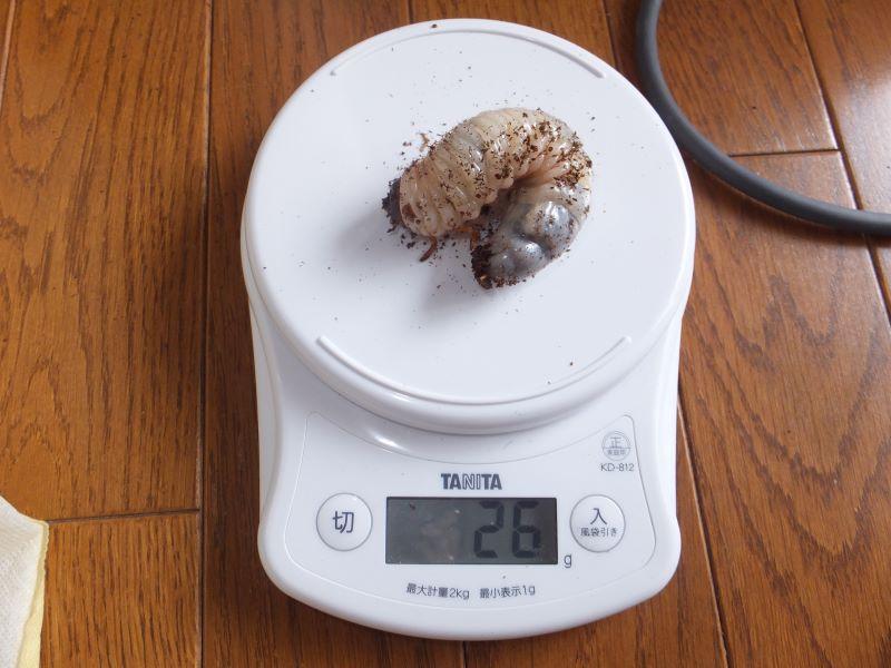 幼虫26g